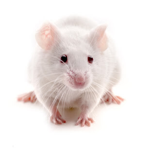 transplantan_neuronas_raton